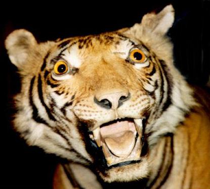 Tiger_Brian-Snelson_CC2_med.jpg