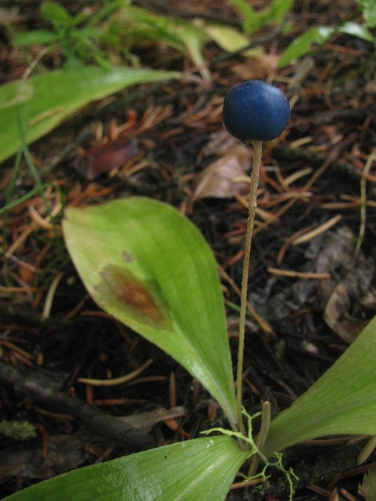 Clintonia%20uniflora.jpg